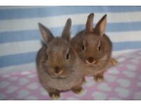 2 pure netherland dwarf bunnies for sale