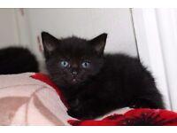 2 Male All Black Kittens