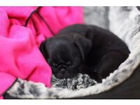 The cuteness is real: girl pug puppy ready now