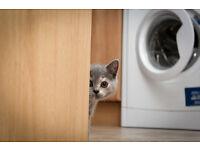 British Shorthair girl kitten available now!