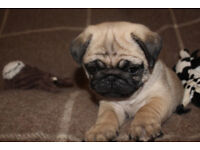 **Top Quality KC Registered Pug Puppies**
