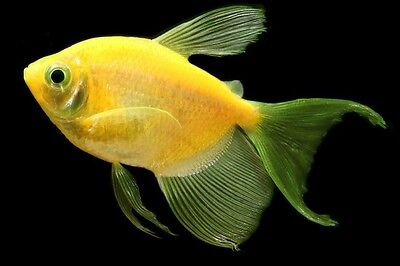 Glofish Long Fin Sunburst Orange Tetra 1 Inch Live Fish Fully Guaranteed