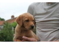 Beautiful KC Registered Labrador Fox Red Puppies - READY THIS WEEKEND!