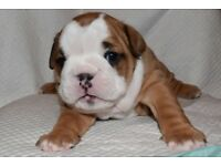 British Bulldogs for sale stunning puppies KC reg Brilliant blood lines