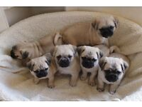 3/4 Pug pups for sale