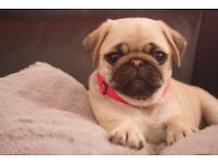Adorbale Pug Puppies for Sale