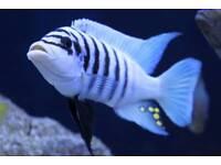 Masoni reef