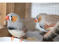 Zebra finches Pet Birds