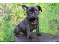 French Bulldog pupps grown up in family with children