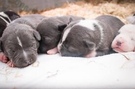 Blue and white puppy staff