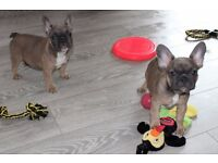 (PRICE REDUCED) 3X FRENCH BULLDOG ( READY NOW )