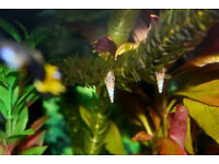 Fish tank - Malaysian Tropical Trumpet Snails