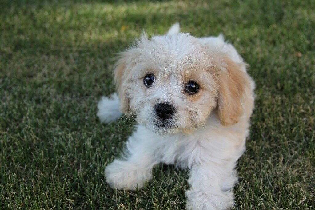 Buy Cavachon Puppies In Indiana USA