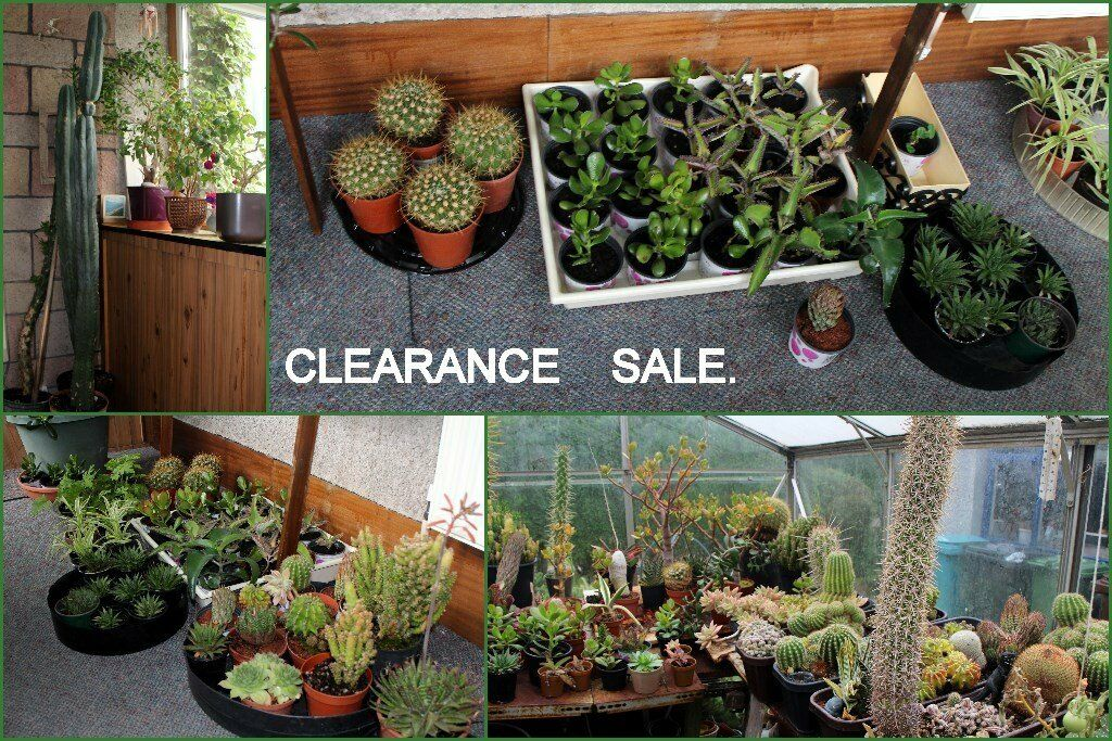CLEARANCE SALE OF CACTUS & HOUSE PLANTS. | in Chapelhall ... on peppermint tree plant, cycad plant, reed plant, foxfire plant, gazania plant, no light indoor plant, lotus plant, google plant, hickory plant, garland plant, amazon plant, miracle fruit plant, king plant, arcadia plant, violet flower plant, eagle plant, yucca plant, ebay plant, mulberry plant, fig plant,