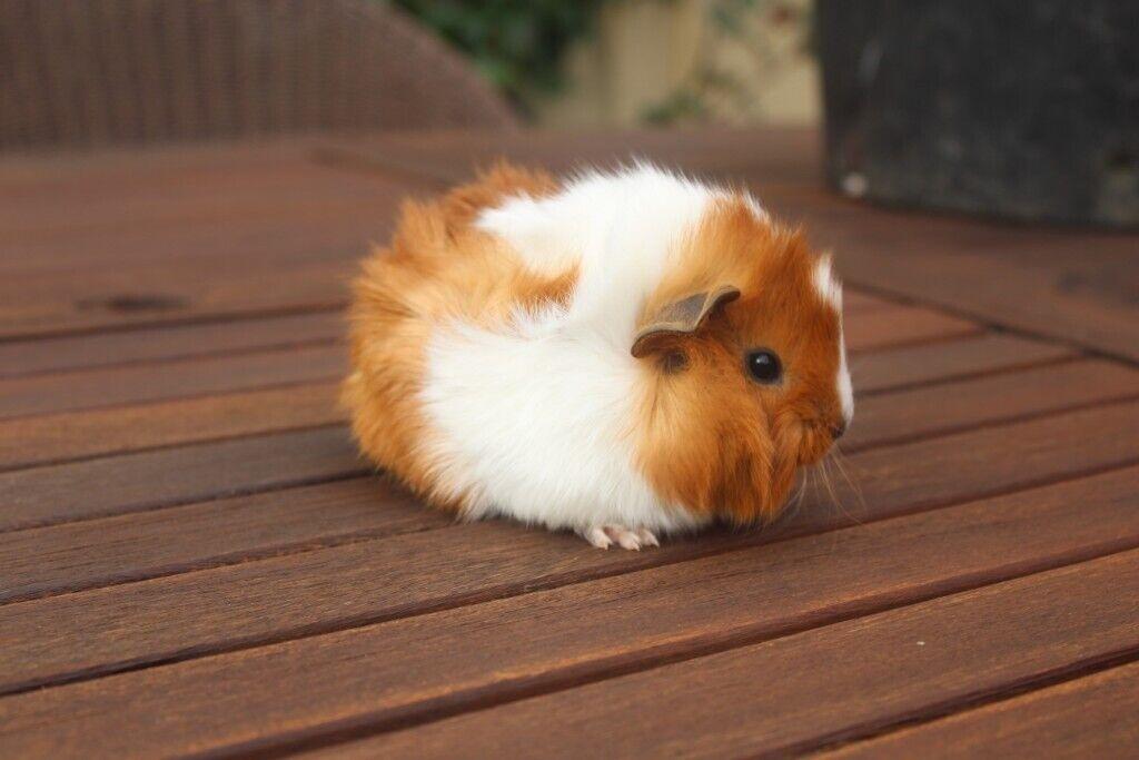 Beautiful Peruvian/Abyssinian baby guinea pigs   in ... - photo#25
