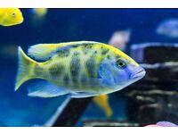 "Venustus Malawi Cichlid 6.5"" for sale"