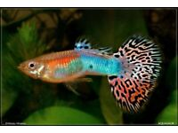 8 male metallic guppies for sale