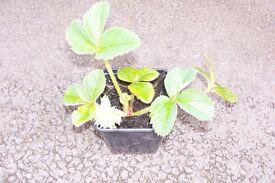 STRAWBERRY PLANTS