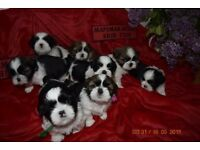 Pure Breed Shih Tzu Puppies For Sale in Hull
