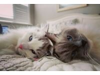 Ragdoll brother and sister rehome