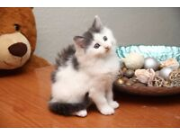 Grey and white Fluffy stunning kittens