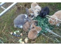 Beautiful Baby Lop Rabbits looking for forever homes