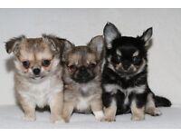 Longcoat Chihuahua Puppy's