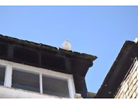 FREE to a good home white fan tailed doves.