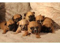 7 beautiful fawn french bulldog puppies
