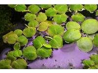 Fish tank – Live Plants - Phyllanthus fluitans - Red Root Floater