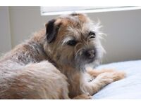 5 year old Border Terrier dog needs new home