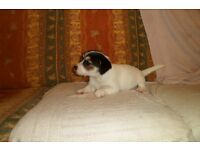 jack russell pups, short legged, micro chipped