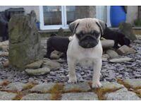 KC Pug puppies