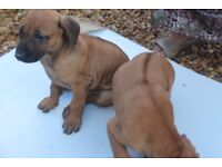 Rhodesian Ridgeback pups for sale - Get in touch before they go!