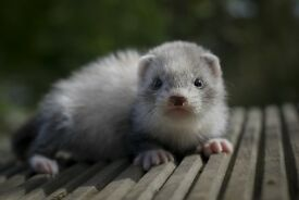 Baby ferrets, silver, polecat and albino mostly female.