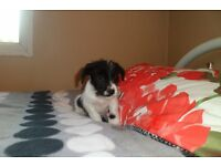 jack russell puppies,(short legged) micro chipped,