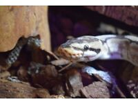 Adult male Spider morph Royal/Ball python for sale