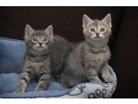 Silver and blue solid and tabby kittens Amazing Markings