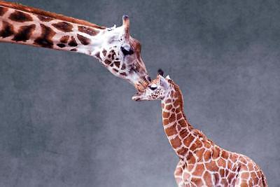 Mothers Love Giraffe Kiss Photo Art Print Poster 24x36 (Kiss Art Poster)