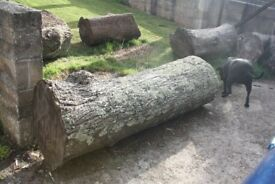 Seasoned lime tree wood trunks for sale, ideal for carving into ornate garden furniture/ sculptures