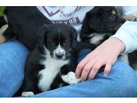 Dog, Puppy Collie - cocker spaniel cross