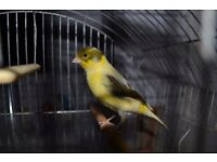 Male Fife Canary in 1960s vintage cage *reduced*