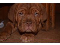 KC reg Dogue de Bordeaux pups, ready now.