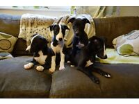 Beautiful KC male Whippet Puppies for sale