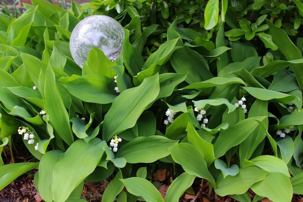 2 large loads of lily of the valley scented white flowers 2 large loads of lily of the valley scented white flowers groundcover shade drought resistant mightylinksfo