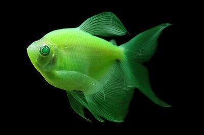 Glofish Long Fin Electric Green Tetra 1 Inch Live Fish Fully Guaranteed