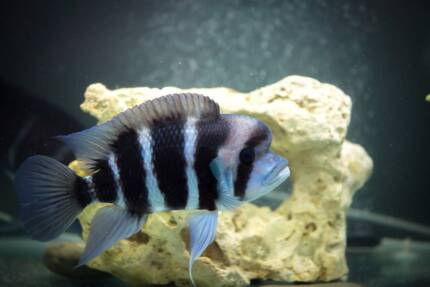 2 x Large Female Burundi Frontosa Breeders $65 each