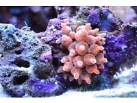 Bright Pink Rose Bubble Tip Sea Anemone
