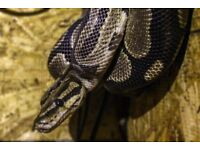 Friendly Male Royal Ball Python