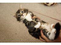 Stunning Siberian kittens for sale 8 weeks excellent temperament